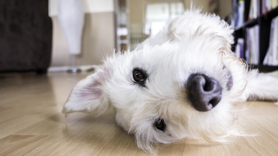 Jaki jest najlepszy rodzaj podłogi dla zwierząt domowych?